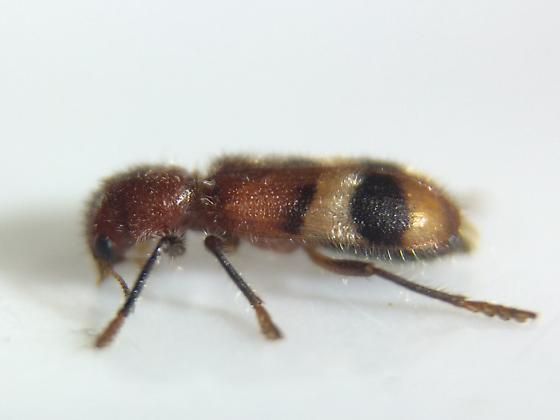 Clerid - Enoclerus rosmarus