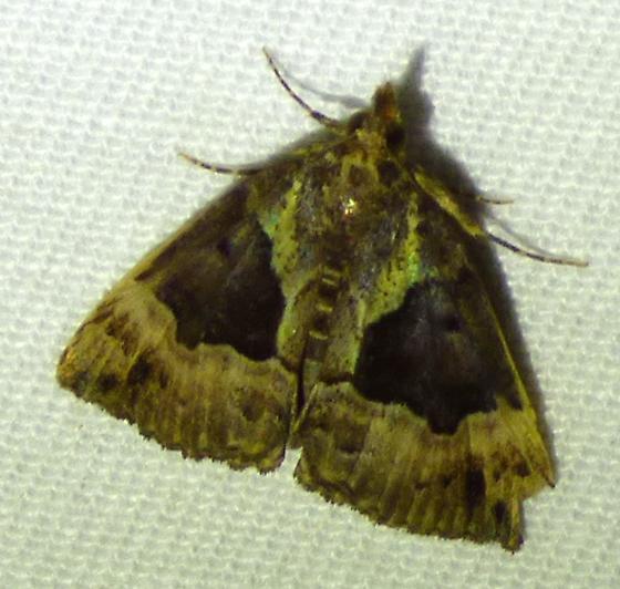 Hypena bijugalis - Dimorphic Hypena - Hypena bijugalis