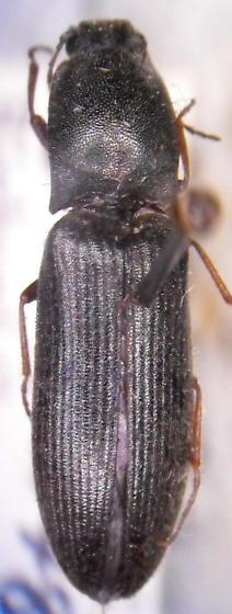 Ctenicera lobatus - Corymbitodes lobatus