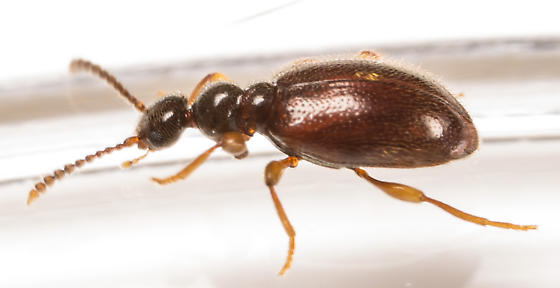 Beetle - Tomoderus
