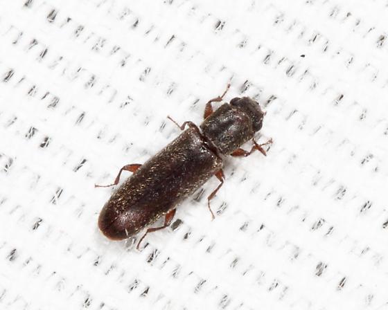 tiny elongate beetle - Trogoxylon parallelipipedum
