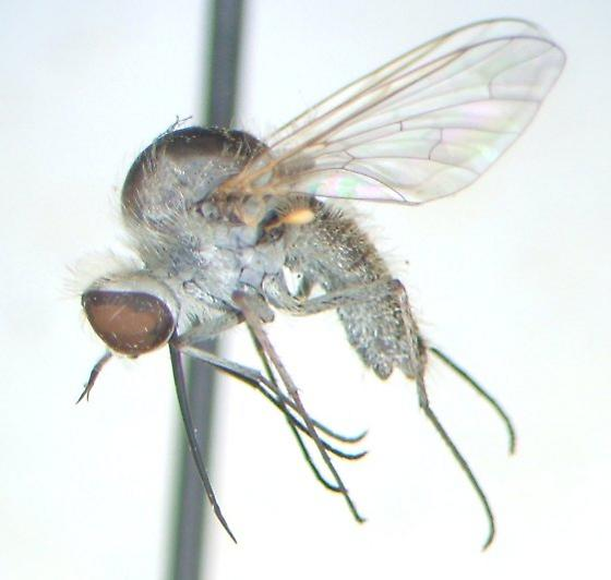 FL bombyliid - Geron - female