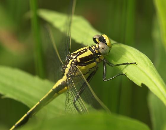 Clubtail, But What Species? - Gomphurus fraternus