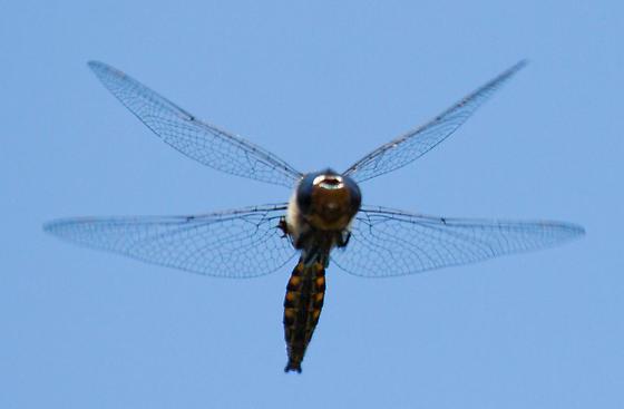 spiny baskettail - Epitheca spinigera