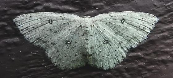 7139 – Cyclophora pendulinaria – Sweetfern Geometer - Cyclophora pendulinaria