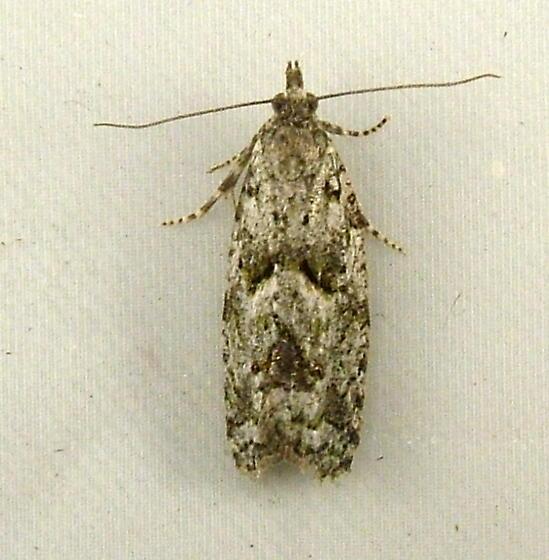 1857 Epinotia hopkinsana 3297 - Epinotia hopkinsana
