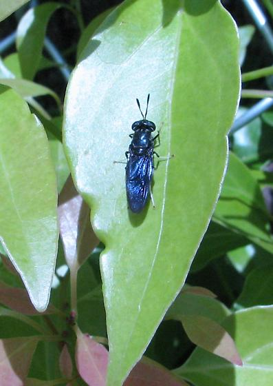 Soldier fly on camphor leaf - Hermetia illucens