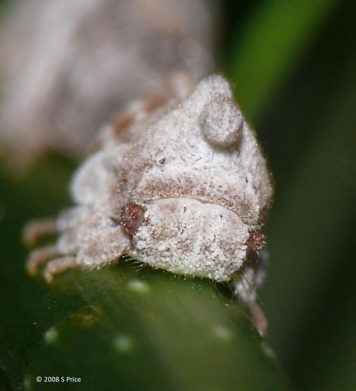 ID? - Enchenopa binotata