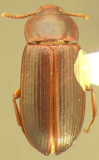 Cynaeus angustus LeConte - Cynaeus angustus