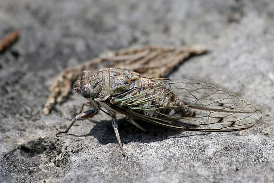 Unknown Cicada - Hadoa texana