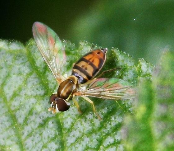 syrphid fly ? - Toxomerus marginatus