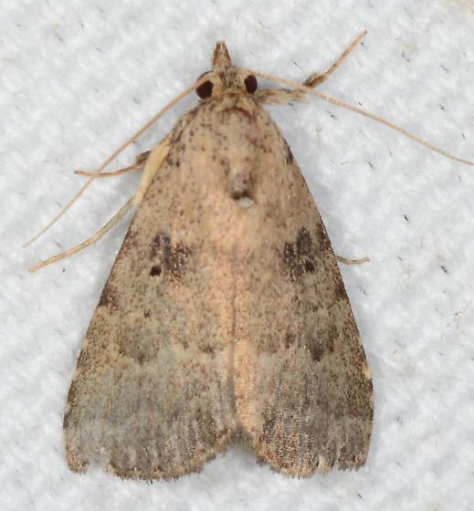 Arugisa lutea - Common Arugisa  - Arugisa lutea