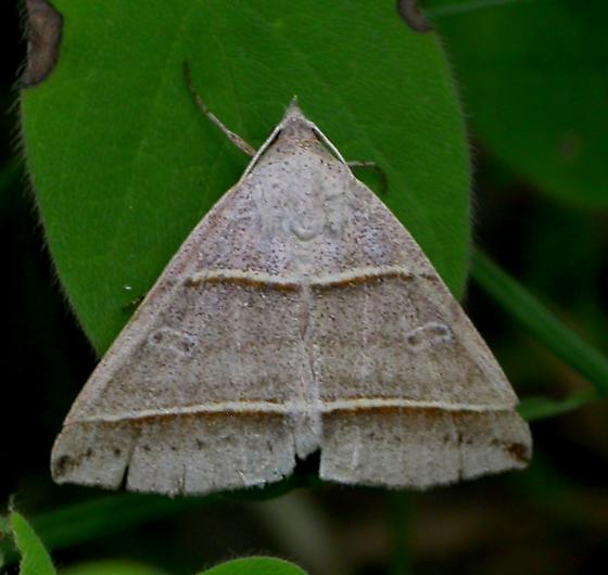 Black-tipped ptichodis moth