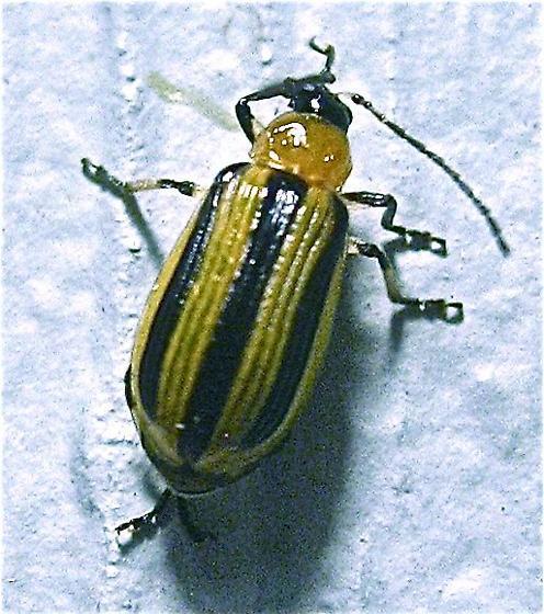 Striped Cucumber Beetle (Acalymma vittatum) - Acalymma vittatum