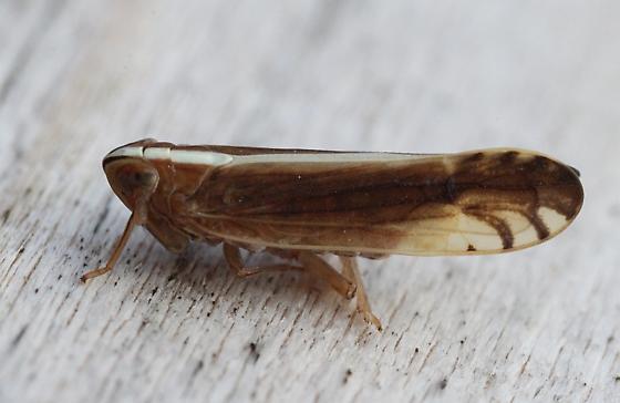 leafhopper - Stenocranus vittatus