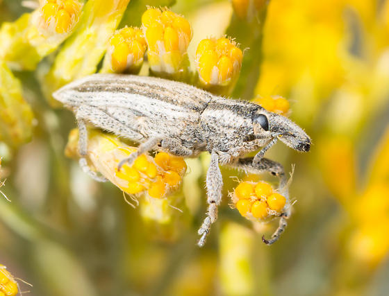 Scaphomorphus poricollis? - Scaphomorphus