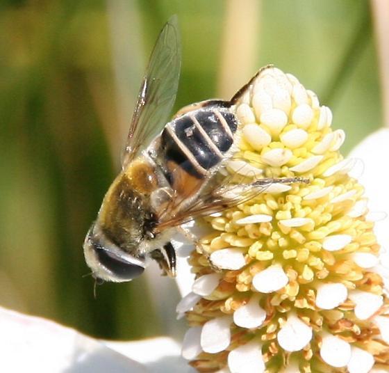 Palpada or Eristalis in the Syrphidae - Eristalis stipator