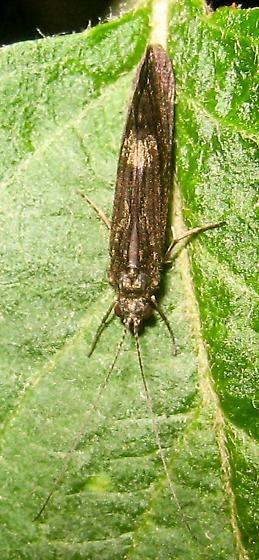 Caddisfly - Ceraclea