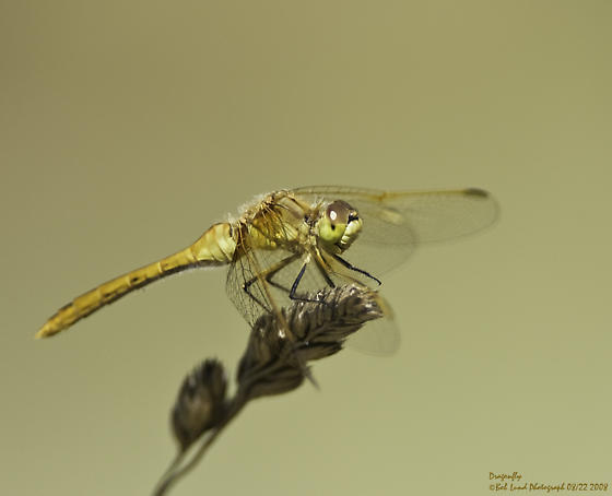 Help identifying Dragonfly type - Sympetrum costiferum
