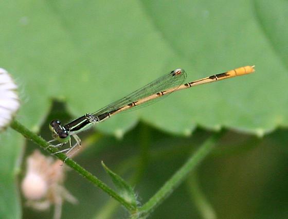 Citrine Forktail [male] - Ischnura hastata - male