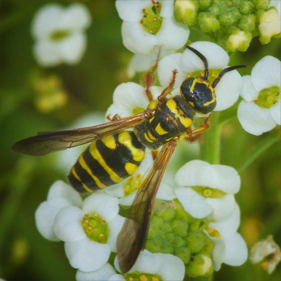 Family Thynnidae - Thynnid Wasps ID please - Myzinum maculatum - female