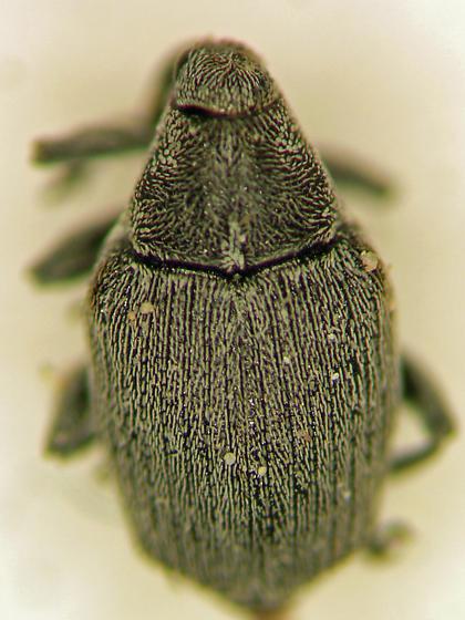 Cabbage Curculio - Ceutorhynchus rapae