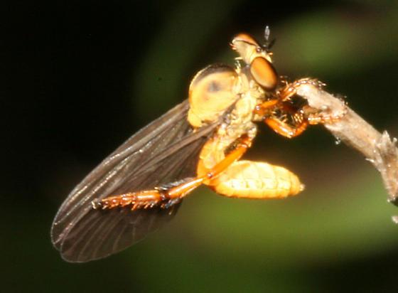 Holcocephala - Holcocephala abdominalis