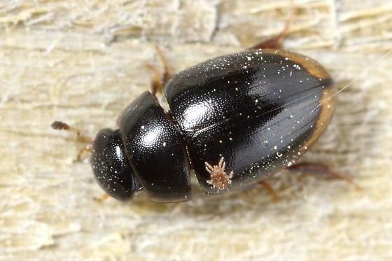 Water Scavenger Beetle - Cercyon