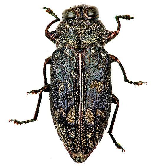 Metallic Wood-boring Beetle - Chrysobothris shawnee