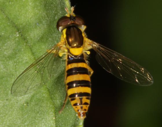 Syrphid fly - Sphaerophoria - female