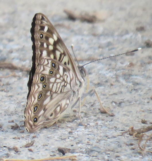 butterfly-2019-002 - Asterocampa celtis