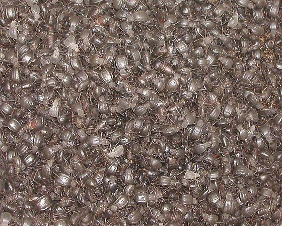Where's Waldo? - Philolithus densicollis - male - female
