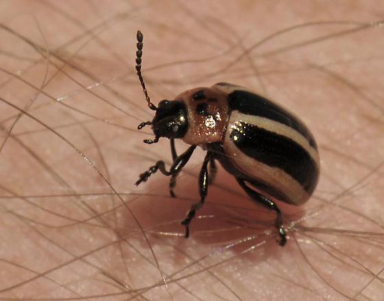 possible flea beetle - Calligrapha californica