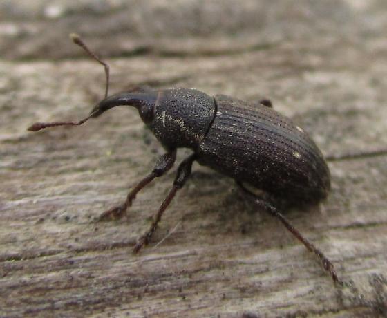 Compost Beetle