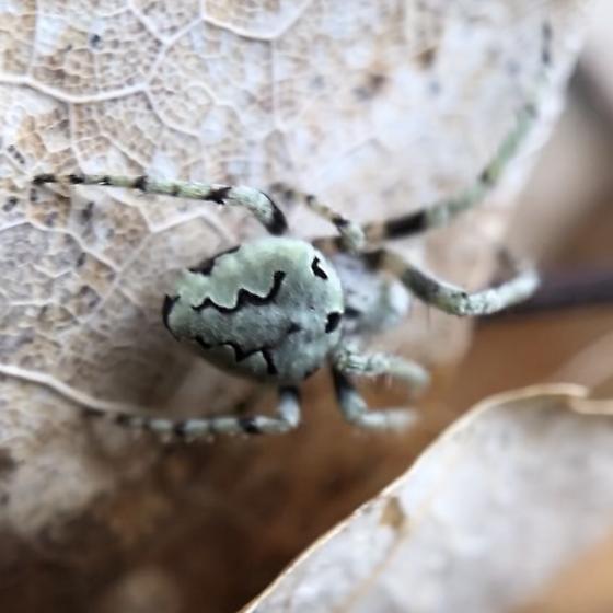 Spider the color of the lichenized fungus - Eustala anastera