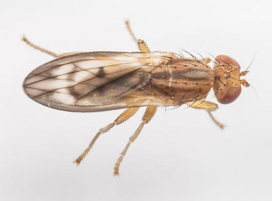 Fly - Opomyza petrei - male