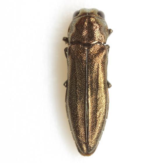 Agrilus obolinus LeConte - Agrilus obolinus