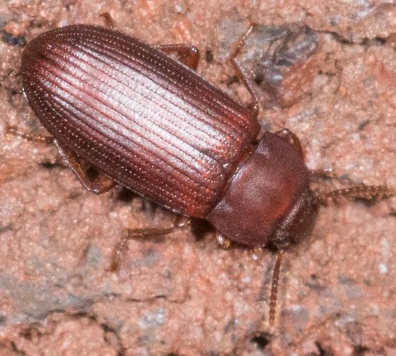 Tiny Brown Beetle - Cynaeus angustus