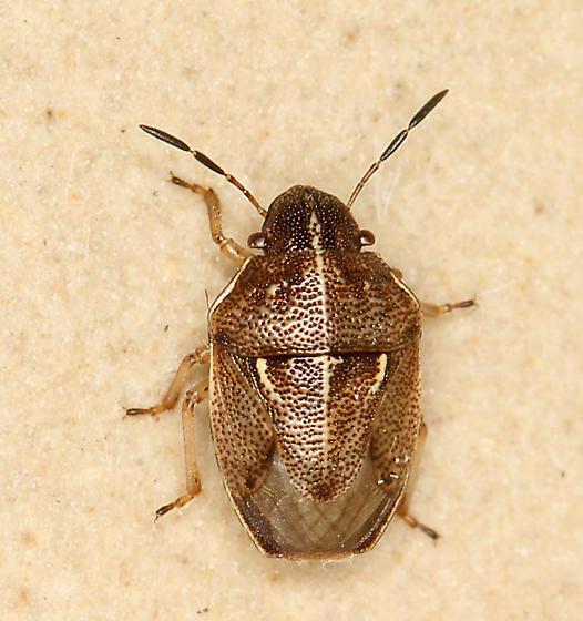 small brown stink bug   Neottiglossa undata. small brown stink bug   Neottiglossa undata   BugGuide Net