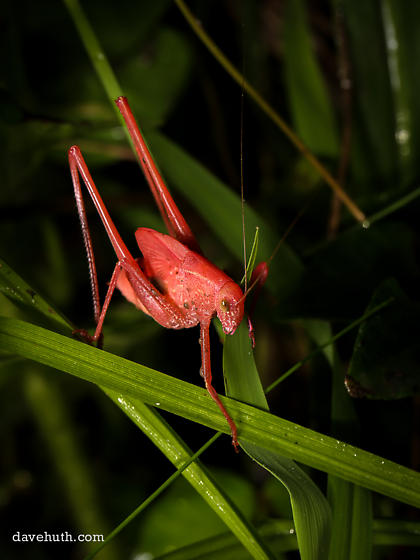 Katydid (pink coloration) - Amblycorypha oblongifolia