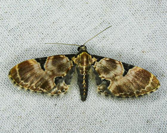 Eupithecia stellata