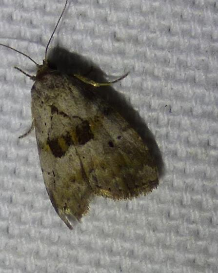 Hyperstrotia secta - Black-patched Graylet Moth - Hyperstrotia secta