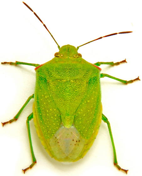 Thyanta custator