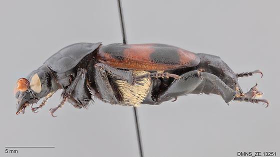 Nicrophorus_guttula_ZE.13251_lateral - Nicrophorus guttula - male