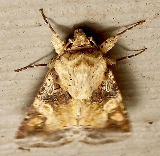 Spodoptera latifascia? - Spodoptera latifascia