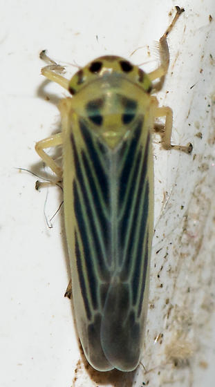Macrosteles americanus