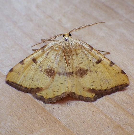 Geometridae: Speranza amboflava - Macaria amboflava