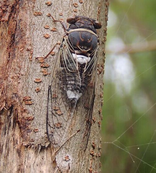 What Cicada? - Diceroprocta cinctifera