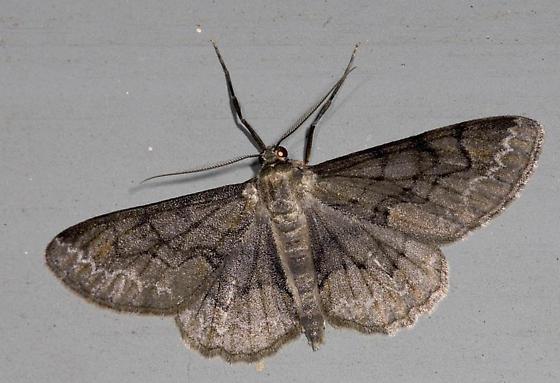 Early spring moth - Iridopsis larvaria - male