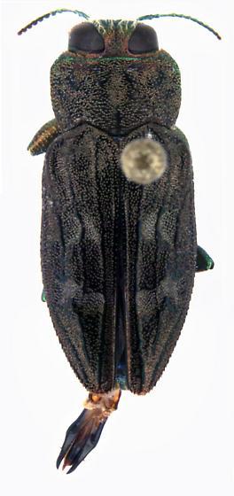 Chrysobothris adelpha Harold - Chrysobothris adelpha - male